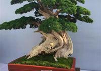 珍藏級柏樹盆景(60幅圖)