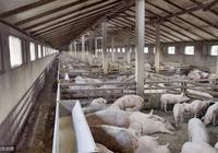 養豬場一夜之間死亡17頭大肥豬,是非瘟,還是另有其他疾病?