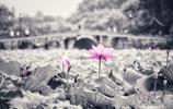 當季杭州西湖最美的風景,當荷花遇上古詩詞,你更喜歡哪句?