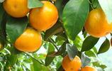 如果你家有一畝地,別讓它荒著,種上這果樹,每年收穫滿滿