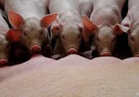 仔豬腹瀉疾病種類繁多如何全方位預防仔豬腹瀉