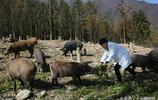 80後千萬富翁回老家大山裡養1500頭野豬和本地黑豬,投資3000萬元