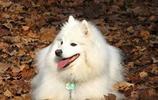 寵物圖集:愛斯基摩犬寵物美圖