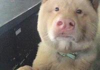 狗狗長得像狗像豬又像人,網友:我覺得這隻狗的基因有點複雜……