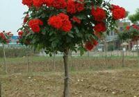 月季花長在木香花上,沒想到木香比玫瑰開的還好看!