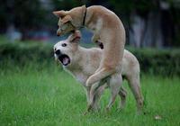 狗為什麼會和狗打呢?