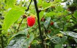 農村這2種野果子正成熟,再不吃只有等到明年了