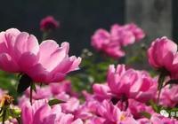 單縣愛情之花——芍藥