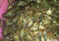 怎樣判斷精養蝦田裡差不差蝦苗?