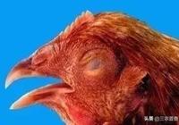 雞群咳嗽呼嚕老治不好?家禽慢性呼吸道疾病的那些事你應該知曉