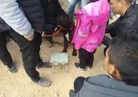 男子帶自家的鬥牛犬到狗市溜圈,還吸引了商販圍觀開出價1500元!