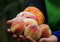 """夏天的桃子被稱為""""肺之果"""",但醫生卻說:這幾類人最好少吃為好"""