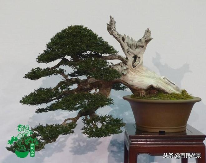 """盆景欣賞:""""盆小天地大,樹老景物新"""",小小盆裡風光卻是無限好"""