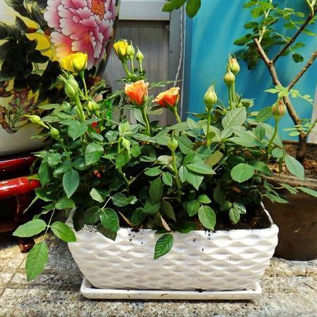 怎樣配製盆栽月季的土壤?