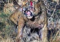 為什麼老虎是瀕危保護動物呢?