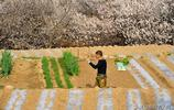 青島上莊杏花村 數百年曆史的村莊最後一次看杏花