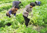 香菜太貴,芹菜價格翻倍?看看皖北農村的雪裡蕻價格讓人眼眶大跌