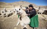 難以想象澳洲竟盛行吃羊駝,原來羊駝不止能賣萌,在國外還是佳餚