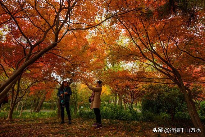 初冬時節,濟南泉城公園有一片槭樹葉紅似火,眾多遊客在樹下拍照