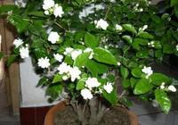 夏天養茉莉花,一定別忘施肥、修剪,花苞蹭蹭冒,花多又香又美
