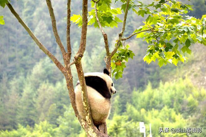 四川阿壩:國家一級保護動物大熊貓萌態十足