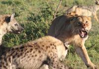 小鬣狗獨自留在洞中,沒想到被兩頭路過的獅子發現,網友:太慘了