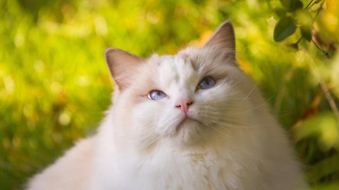 動物圖集:美麗優雅的布偶貓