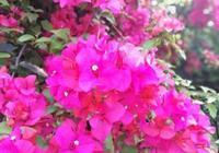 盆栽三角梅養護方法,瞭解之後就能養出花朵淡雅顏色美麗的三角梅