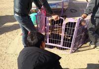 商販賣萊州紅犬要價2千元,稱:不想養了送回來多一千回收!