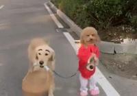 泰迪為什麼會站著走路?泰迪犬站著走路的危害有哪些?