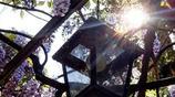 種一株爬藤花,偷偷在陽臺藏個小花園,可觀賞又能n淨化空氣
