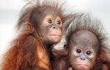 猩猩:習性特徵簡介