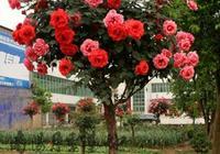 """此花號稱""""天下第一美"""",一年花開260天,院子裡種2棵就美極了!"""