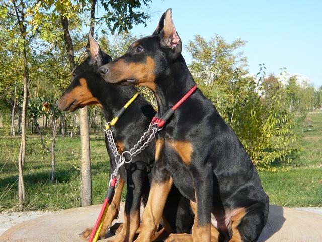 2018年德國杜賓犬打架厲害嗎 杜賓犬凶猛善戰不輸其他大型猛犬