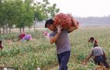 河南大蒜價格一飛沖天,一畝能賺3千塊,菜農卻說後悔了