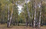 最美的風景,白樺林