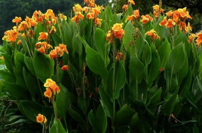 植物圖集:美人蕉植物美圖
