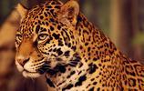 獨愛美洲豹