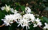 印度尼西亞的國花就是這種小白花,象徵著純潔、熱情