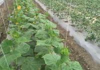 大棚蔬菜等於有機蔬菜嗎?