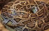 動物圖集:眼鏡蛇