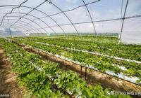 草莓地重茬問題,如何解決?草莓重茬的弊端及防治措施你要清楚!