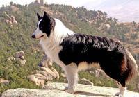 怎麼挑選邊境牧羊犬?