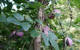 """長在樹上的""""怪地瓜"""",口感清甜似香蕉,有誰認識嗎?"""