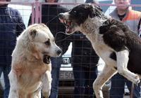 這5種犬,被稱為猛犬中的金剛獸,其中一種把狼當玩具