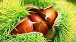 在農村,可種植的板栗品種有哪些?你知道哪種營養價值最高嗎?