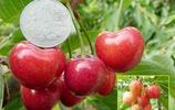 可口、美味的櫻桃,各品種美圖賞析