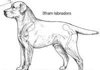 拉布拉多犬圖解AKC標準
