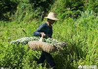 端午節快到了,去農村割艾草如何防止被毒蛇咬傷呢?