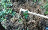 """農村山地裡挖出來的""""白樹根"""",是農家廚房常用調味,也是農村治牙痛的法寶"""